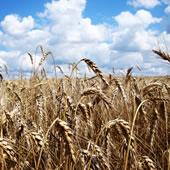 Tahıl ve Yağlı Tohumlar